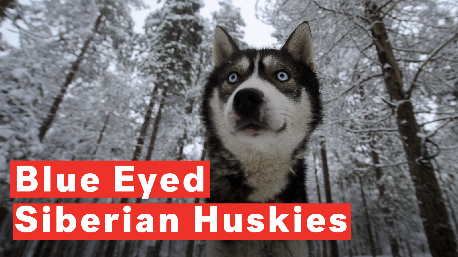 12 Dog Breeds With Striking Blue Eyes From Huskies To Great Danes